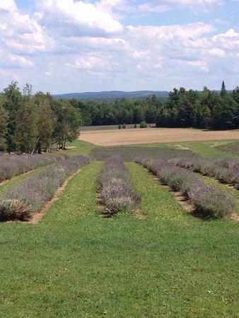 Stanstead, Καναδάς: champs de lavande