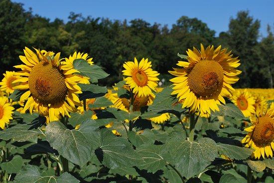 Varen, Francia: sunflowers everywhere