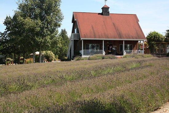 Sequim, Ουάσιγκτον: Lavendar fields