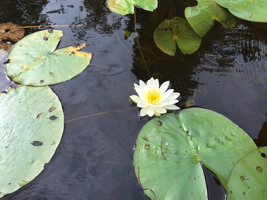 Ely, MN: Pretty lillies