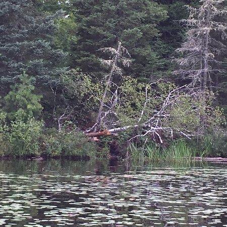 Ely, Μινεσότα: Chubby beaver.