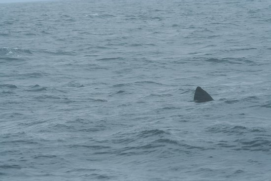Tobermory, UK: Basking shark