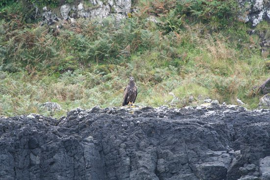 Tobermory, UK: White tailed sea eagle