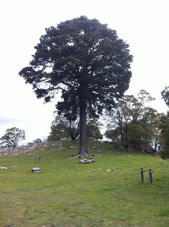 Clunes, Australia: lollipop tree