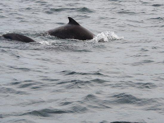 Bay St. Lawrence, แคนาดา: Pilot Whale