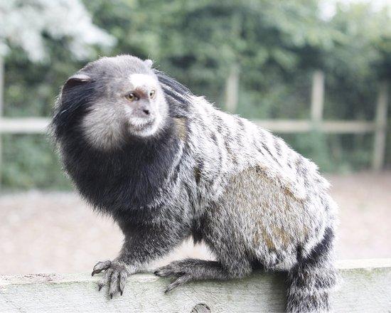 Diss, UK: marmoset