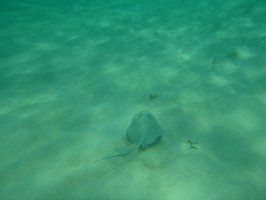 Oyster Pond, St. Martin/St. Maarten : Swimming with stingrays - no extra cost!