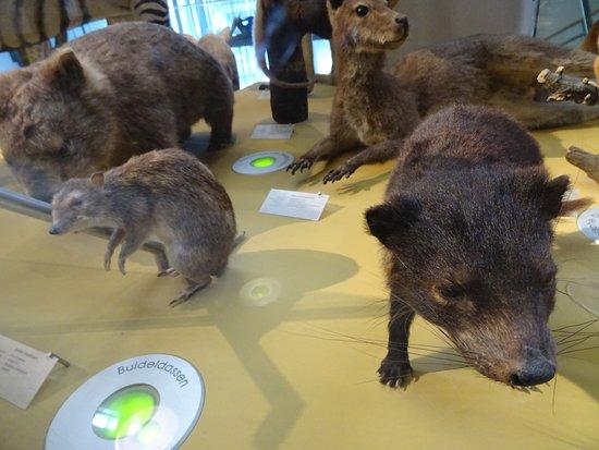 National Museum of Natural History (Naturalis): wombat en andere australische buideldieren;Naturalis biodiversity centre