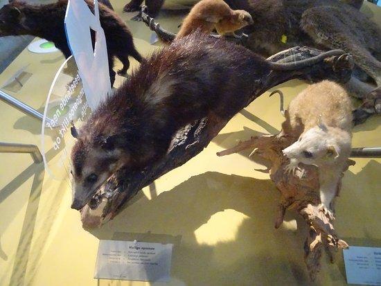 National Museum of Natural History (Naturalis): buidel-opossums;Naturalis biodiversity centre