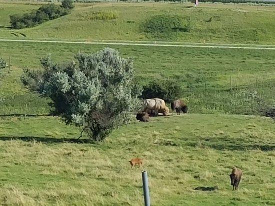 Jamestown, ND: white bison