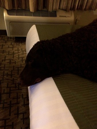 Cobblestone Inn and Suites Clintonville, WI: My dog, sacked out after a long travel day.