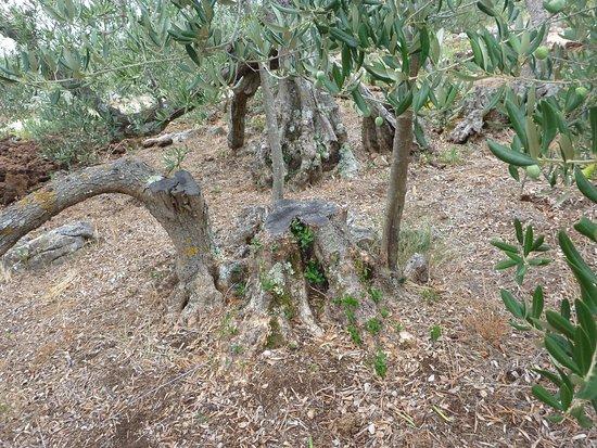 Stomorska, Croacia: 環状に成長させていくオリーブの木