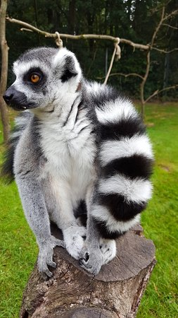 king julien tier