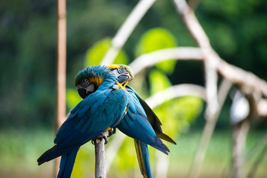 Orinoco Delta, เวเนซุเอลา: Parrots cleaning in the ecolodge