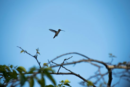 Orinoco Delta, เวเนซุเอลา: Hummingbird flying from branch to branch in the delta