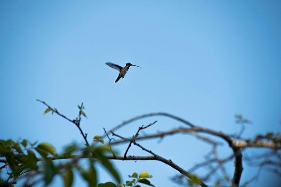 Orinoco Delta, Wenezuela: Hummingbird flying from branch to branch in the delta
