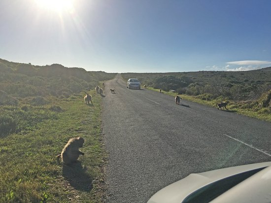 Western Cape, África do Sul: Baboons on the road...