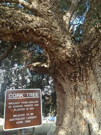 Historic Cork Tree