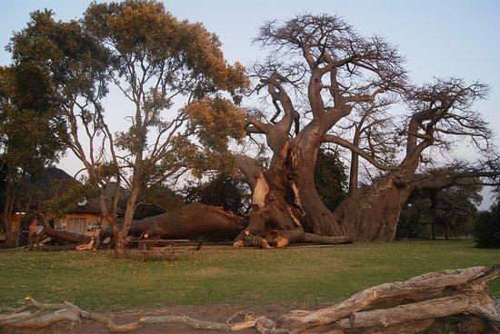 Limpopo Province, Sør-Afrika: Broken branch of big baobab