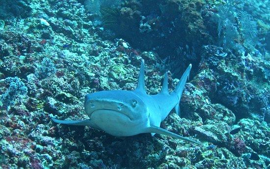เกโรโบกัน, อินโดนีเซีย: un requin pointe blanche à Komodo