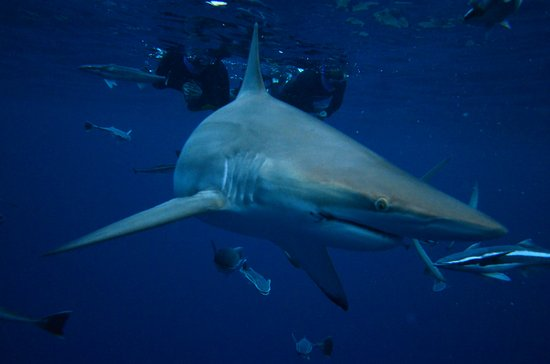 Scottburgh, Afrique du Sud : swimming with the sharks
