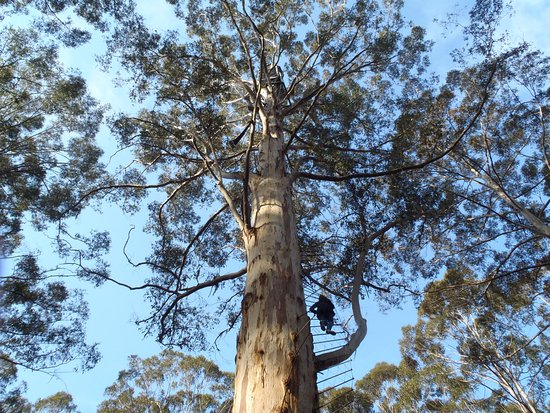 Пембертон, Австралия: Climbing the Gloucester Tree.. only for travelers with a head fs!or height