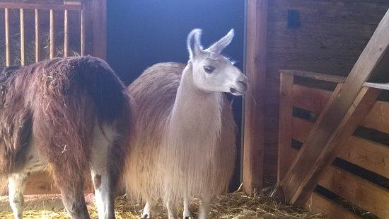 Aurach bei Kitzbuehel, Áustria: Lama