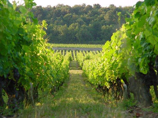 Château de Chaintres : vignes