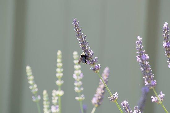 Редмонд, Вашингтон: Bumble Bees and lavender!