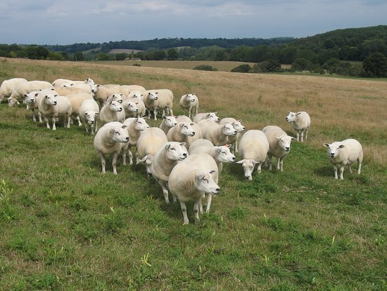 Robertsbridge, UK: Our Texel Flock