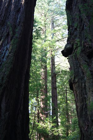 Mill Valley, CA: Muir Woods, Kalifornien