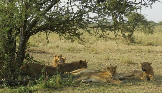 Gallery Tours and Safaris - Private Day Tours: Bantu explorers and Safaris: Kings of the Jungle