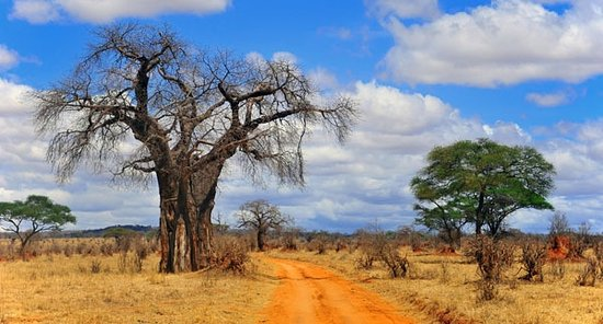 Gallery Tours and Safaris - Private Day Tours: Bantu explorers and Safaris: Famous tree at Tarangire National Park.