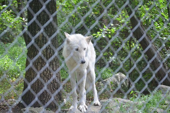 Columbia, NJ: one wolf