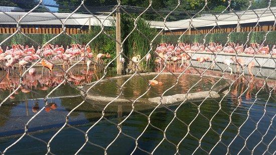 Stoneham, MA: Flamingos