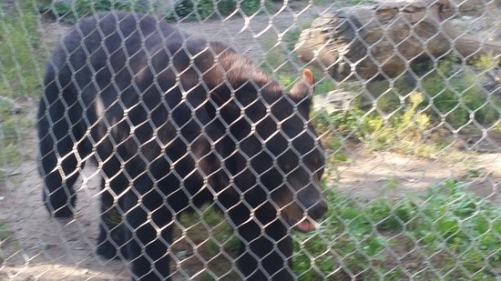 Stoneham, MA: Close up of the Black bear