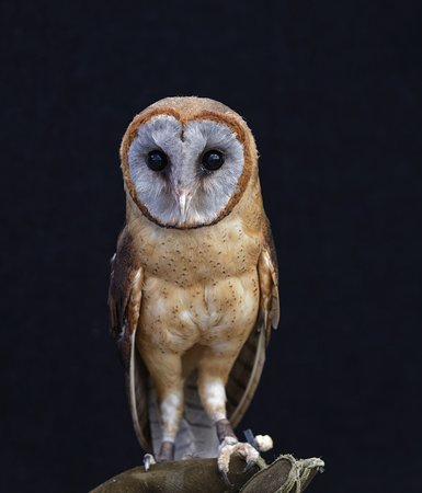 Bexley, UK: Ashy Face Barn Owl at Hall Park Place