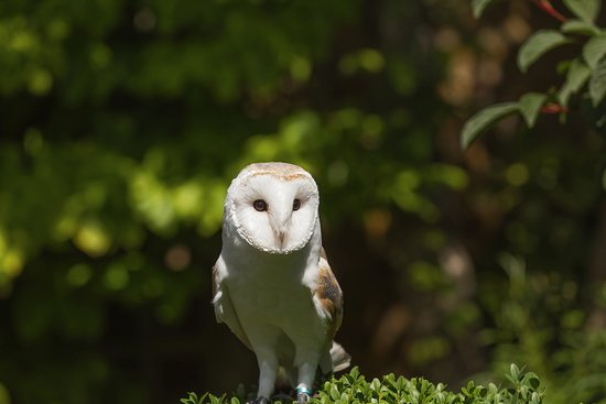 Bexley, UK: Barn Owl at Hall Park Place