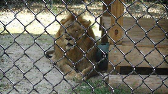 Everglades Excursions: Lion à Wooten's