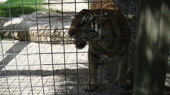 Everglades Excursions: Deux tigres dans une chaleur torride