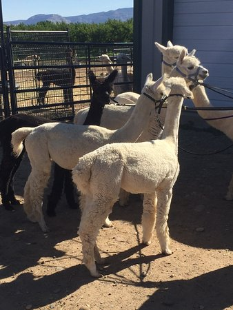 Suncrest Orchard Alpacas Photo