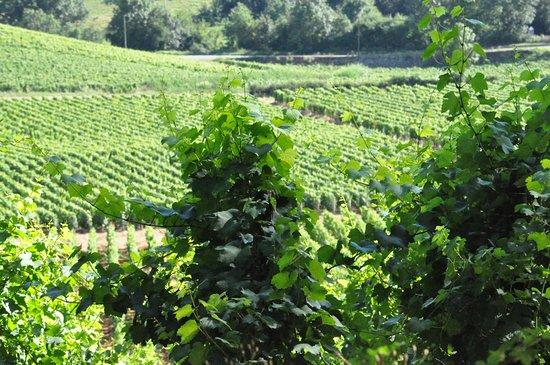 Mâcon, France : vineyards in Burgundy