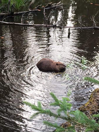Hinton, Kanada: beaver at work