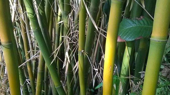 Azeitão, Portugal: Bamboo