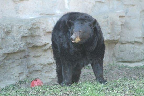 Royal Oak, MI: Black bear