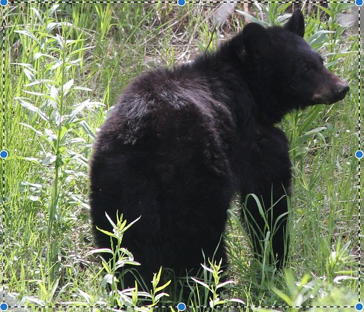 Livingston, MT: Yellowstone Juvenile Black Bear