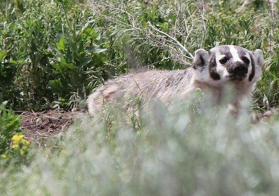 Livingston, Μοντάνα: Yellowstone American Badger
