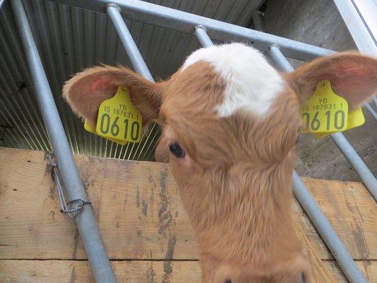 Laugarvatn, IJsland: Calf