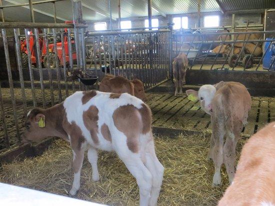 Laugarvatn, IJsland: Lots of calves