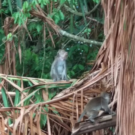 Semporna Proboscis River Cruise : Monkeys!